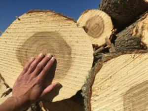 Harvest of poplar trees
