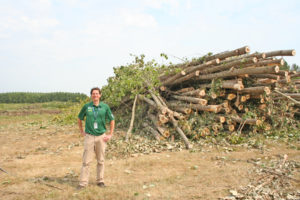 First harvest of poplar trees