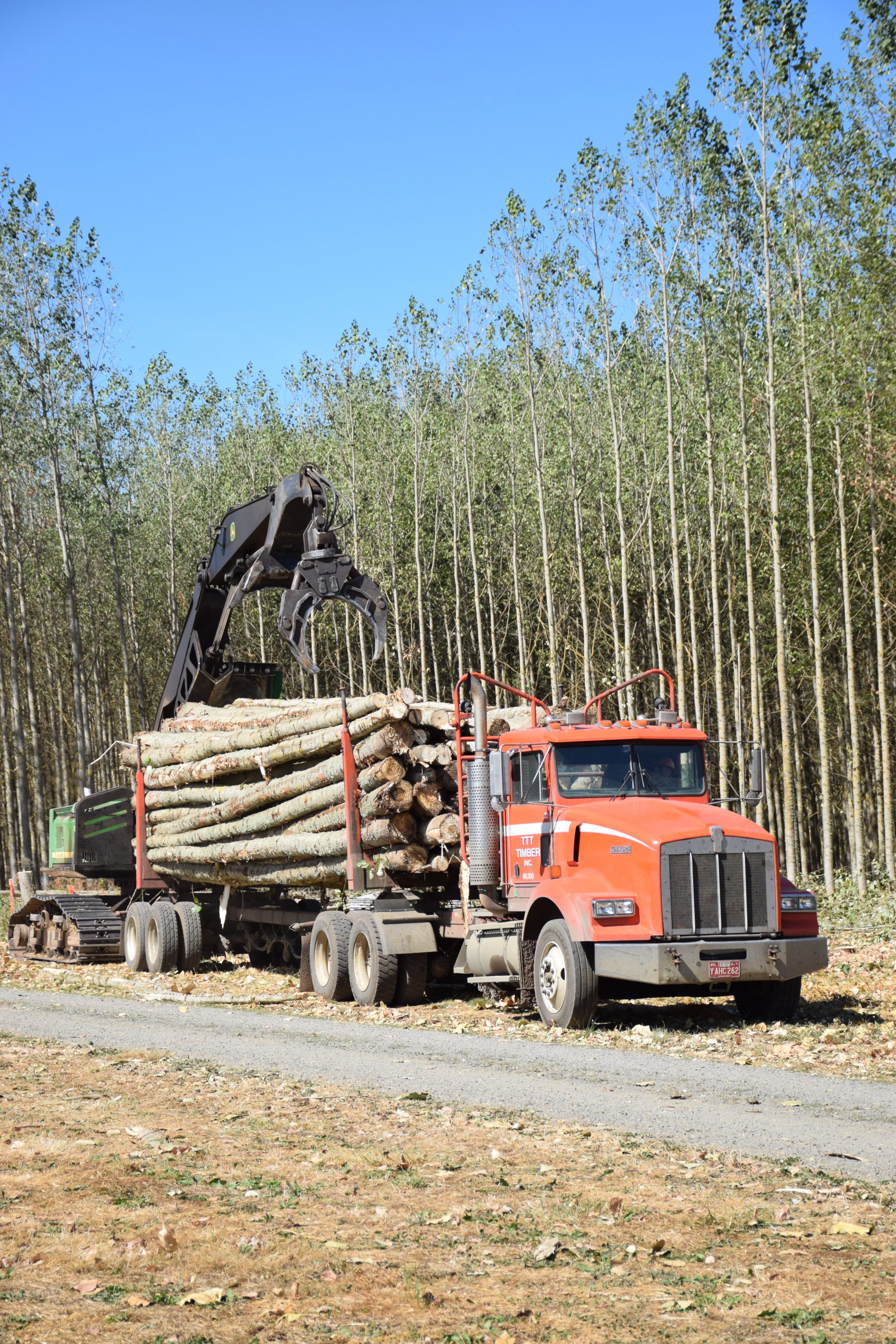 Harvest of Poplar Trees