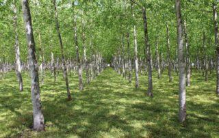 Rows of Poplar Trees